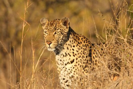 Leopard in the Sabi Sands Reserve Stock Photo - 3327929