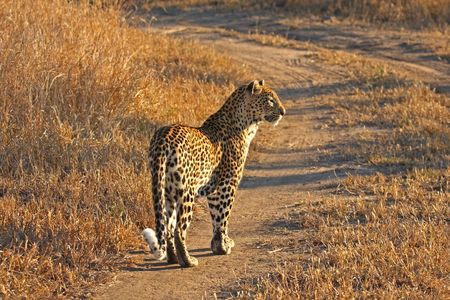 Leopard in the Sabi Sands Reserve Stock Photo - 3327949