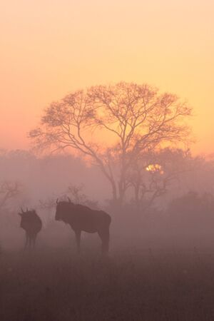 Misty sunrise in Sabi Sands, with Wildebeest and acacia tree Stock Photo