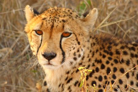 sabi sands: Photo of a Cheetah in Sabi Sands Reserve
