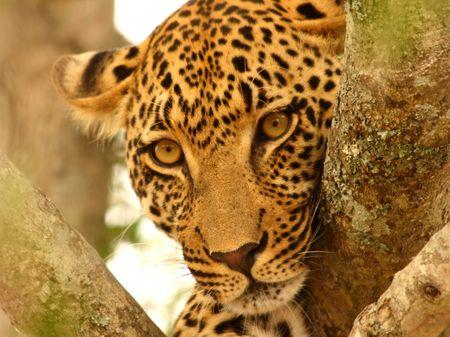 sabi sands: Leopard in a tree in the Sabi Sands Reserve