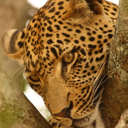 Leopard in a tree in the Sabi Sands Reserve Stock Photo - 3327922