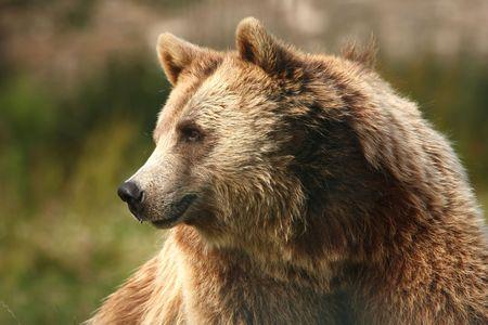 photograph of a european brown bear Stock Photo