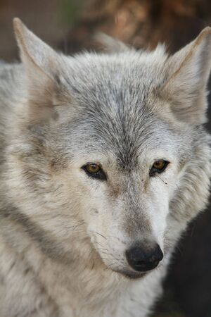 Photo of a European grey wolf