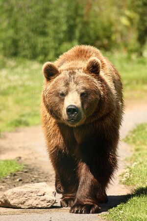photograph of a european brown bear Stock Photo