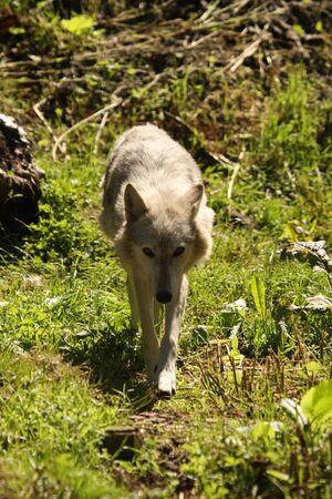 Photo of a European grey wolf
