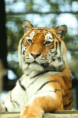 photo of a tiger - close up