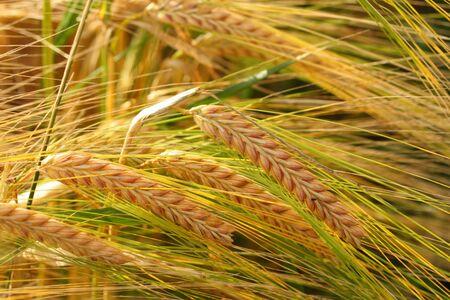 Field of wheat crop in Scotland