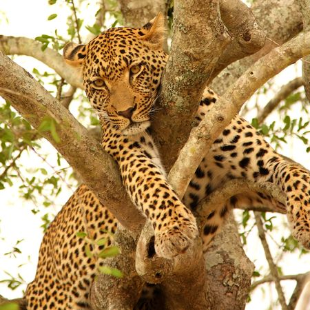 Leopard in a tree in the Sabi Sands Reserve