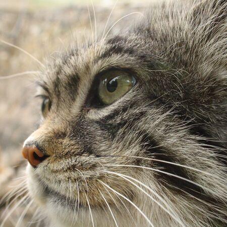 pallas: Head shot of a pallas cat