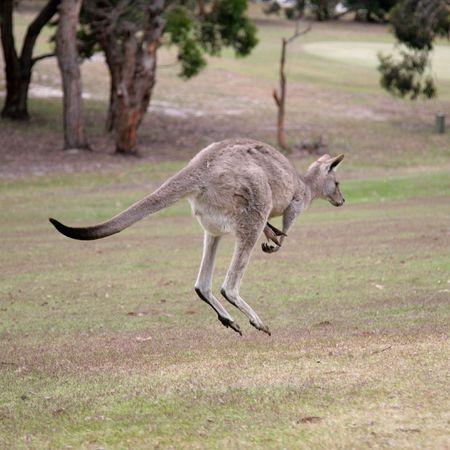 Western Grey Kangaroo Hopping