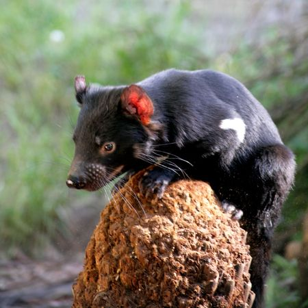 Photograph of a Tasmanian Devil, Tasmania, Australia