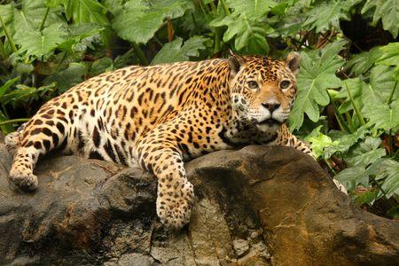 jaguar: A photo of a male jaguar (Panthera onca) Stock Photo