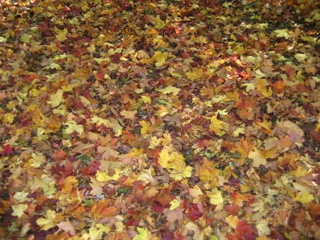 autmn: Colourful autumn leaves in Scotland