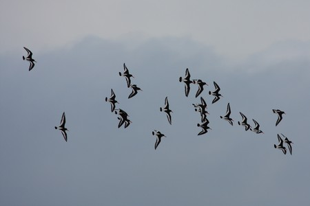 Oystercatchers on the wing, Scotland Stock Photo - 4305785