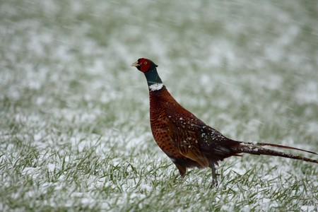 necked: Ring necked pheasant in the snow, Scotland
