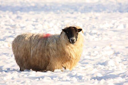 herding: Sheep in the snow, Aberdeen, Scotland Stock Photo