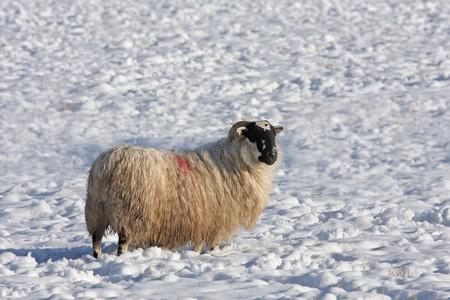 ovine: Sheep in the snow, Aberdeen, Scotland Stock Photo