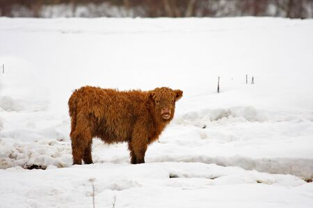 Highland cow calf in the snow photo