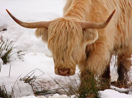 Highland cow calf in the snow