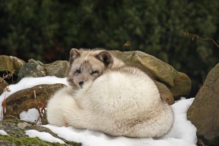 Sleeping arctic fox in the snow Stock Photo