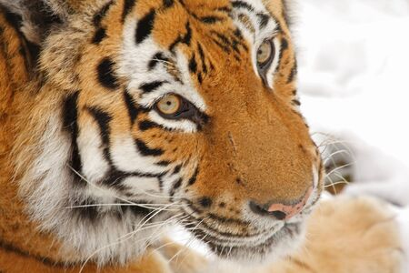 Siberian Tiger in the snow Stock Photo - 4425129