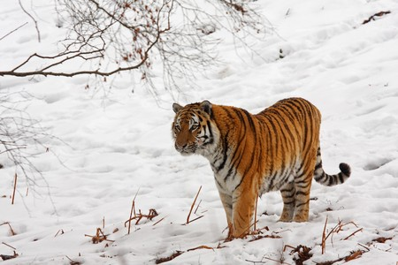 siberian: Siberian Tiger in the snow Stock Photo