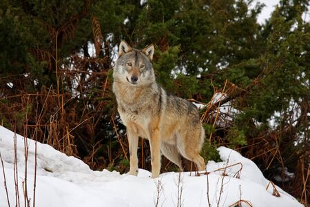 Timber wolf in the snow photo