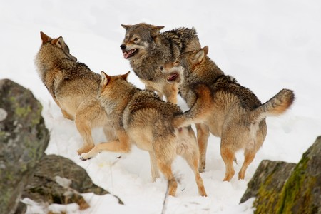 Pack of wolves in the snow Stock Photo - 4425125