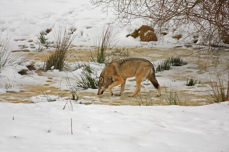 Pack of wolves in the snow photo