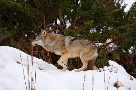 Timber wolf in the snow Stock Photo - 4451545
