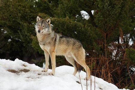 the wolf: Legname lupo nella neve Archivio Fotografico