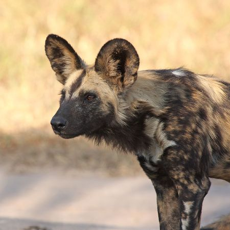 Wild dog in South Africa Stock Photo