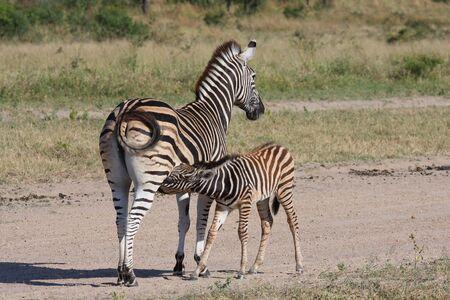 abi: zebra and calf