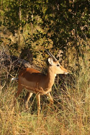 sabi: Impala in Sabi Sand Game Reserve, South Africa Stock Photo