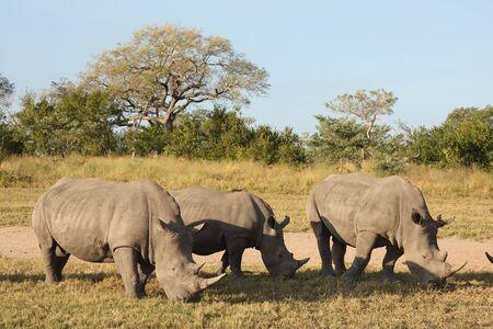 Rhino in Sabi Sand |Reserve, South Africa