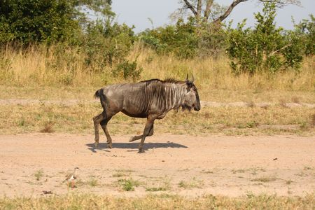Blue Wildebeest in Sabi Sand Game Reserve, South Africa photo