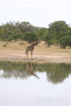 herbivore: Giraffe in Sabi Sand Reserve, South Africa Stock Photo