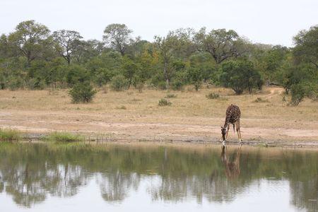 reticulated: Giraffe in Sabi Sand Reserve, South Africa Stock Photo
