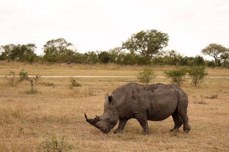 Rhino in Sabi Sand |Reserve, South Africa photo
