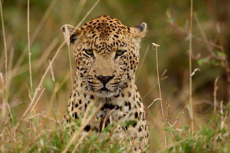 Leopard in Sabi Sand Private Reserve, South Africa