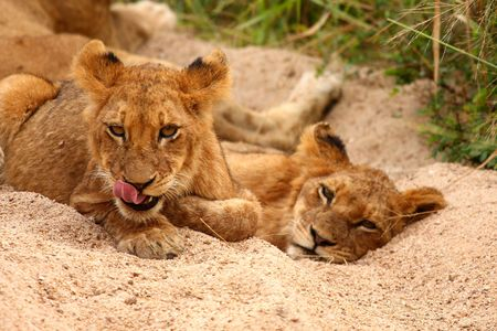 sabi: Lions in the Sabi Sand Game Reserve, South Africa