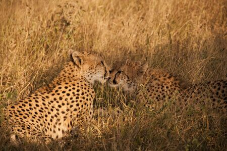 africa kiss: Cheetah in Sabi Sands Private Game Reserve, South Africa Stock Photo