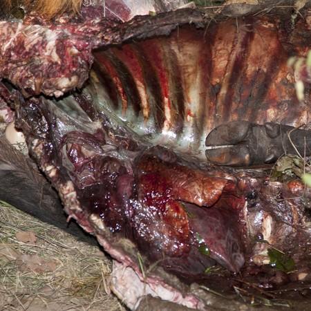 carcass: Buffalo karkas, Zuid-Afrika Stockfoto