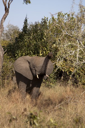 Elephant in Sabi Sands, South Africa Stock Photo - 7545099