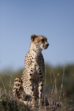 Cheetah in Sabi Sands Private Game Reserve, South Africa Stock Photo