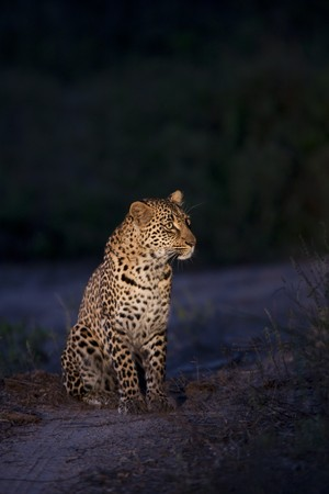 Leopard in Sabi Sands Game Reserve, South Africa Stock Photo
