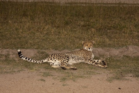 Cheetah in Sabi Sands Private Game Reserve, South Africa photo