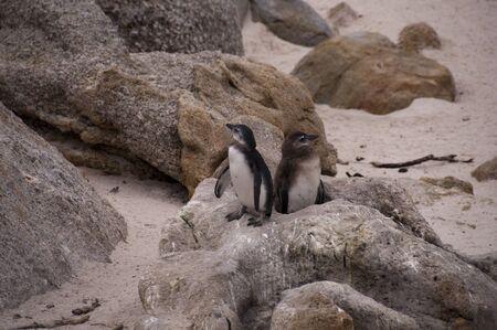 penguins on beach: African penguins at Boulders beach