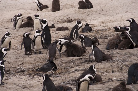 capetown: Penguin at boulders beach, capetown, south africa